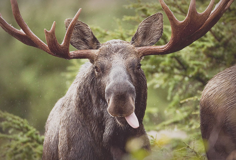 A moose putting its tongue out